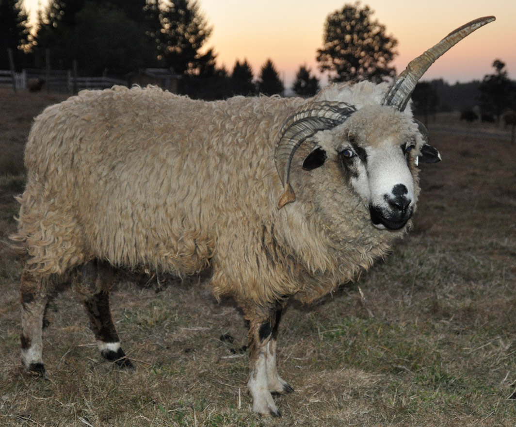 ALS Mitchell, a white badger ram with 4 horns, two fused on the right and two unfused on the left.