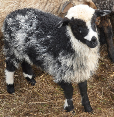 ALS Shawna, a pretty black and white ewe lamb with some roaning on her flanks