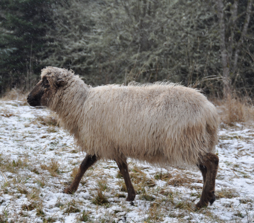 BHF Marabella, a gorgeous brown and fawn ewe