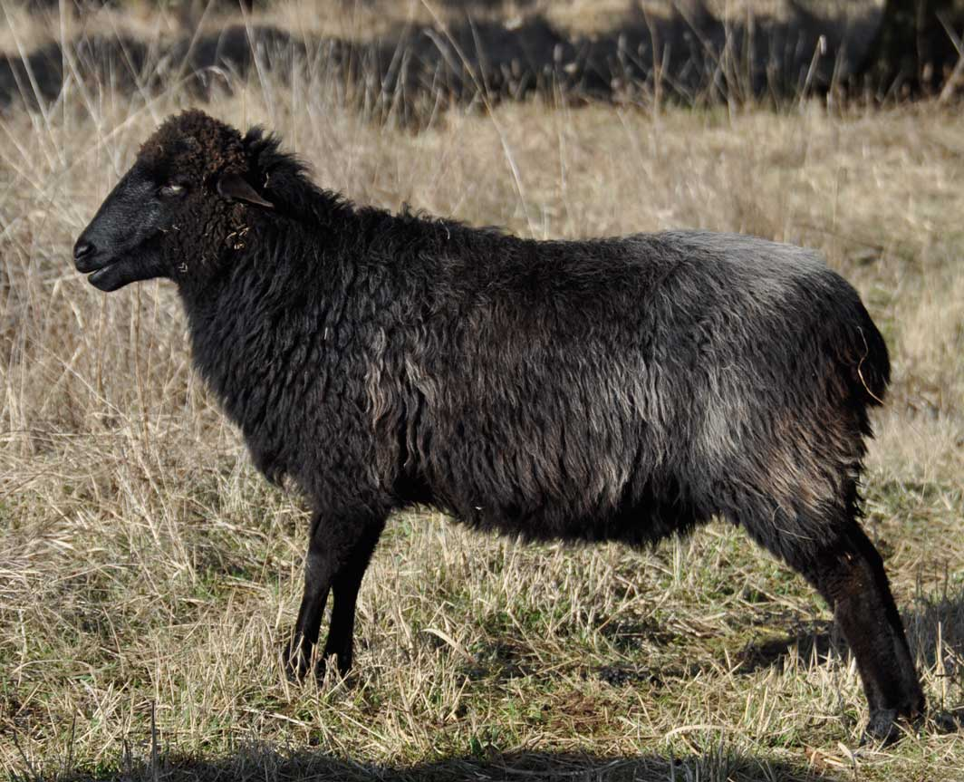 BHF Zalinga, a gorgeous black ewe with just the faintest oxidizing to her hindquarters