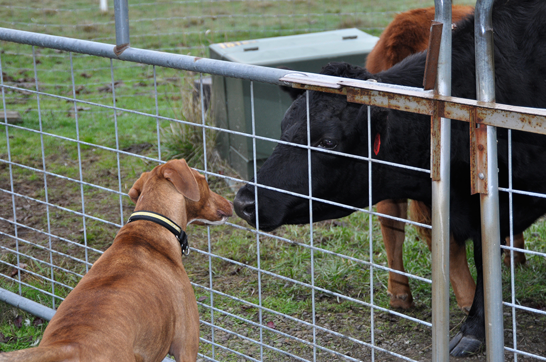 Carne the Farm Dog and Neba, our Irish Dexter Cow, exchange kisses