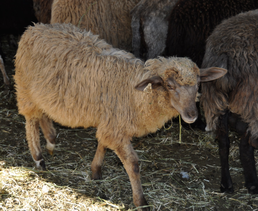 FCC Pewter, a gray and tan ewe lamb