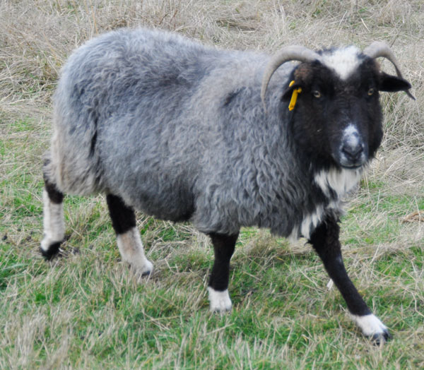 NSP Athena, a beautiful black ewe with blue coat, black legs, and white socks with a white streak on her head