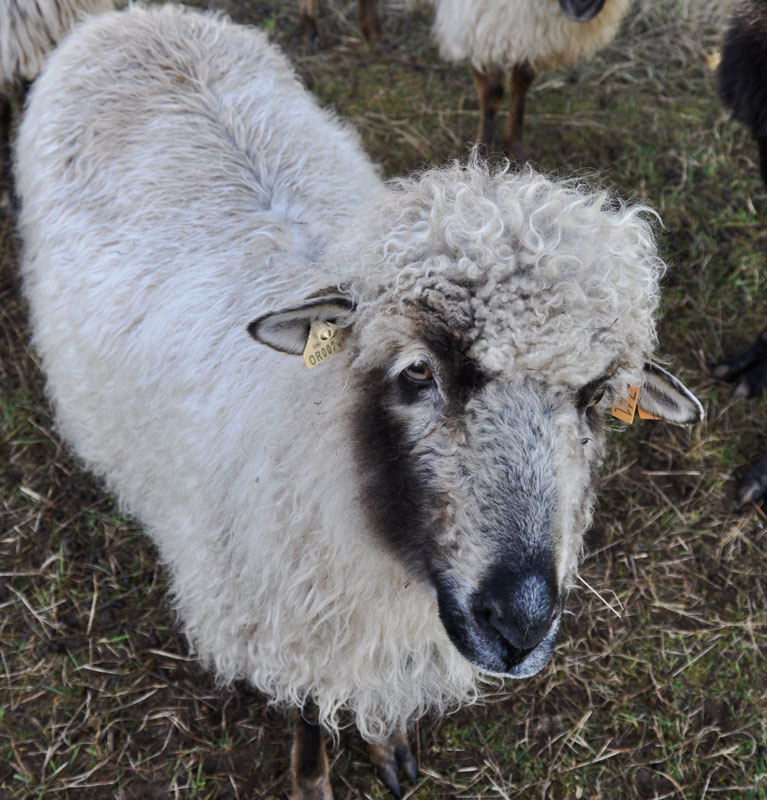 PDF Champagne, an adorable brown badger face ewe with cream fleece that has a distinctive delicate wiggle to it.