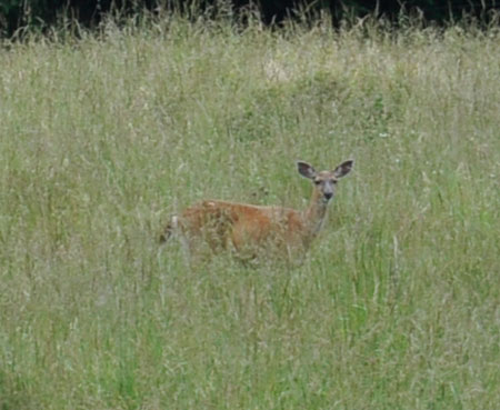 Doe out on the tall-grass prairie
