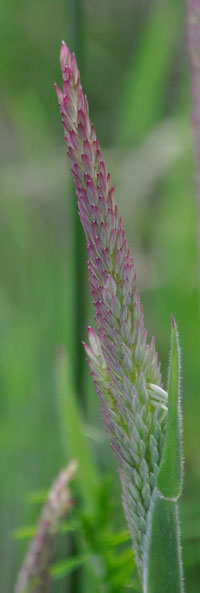Macro view of grass flower